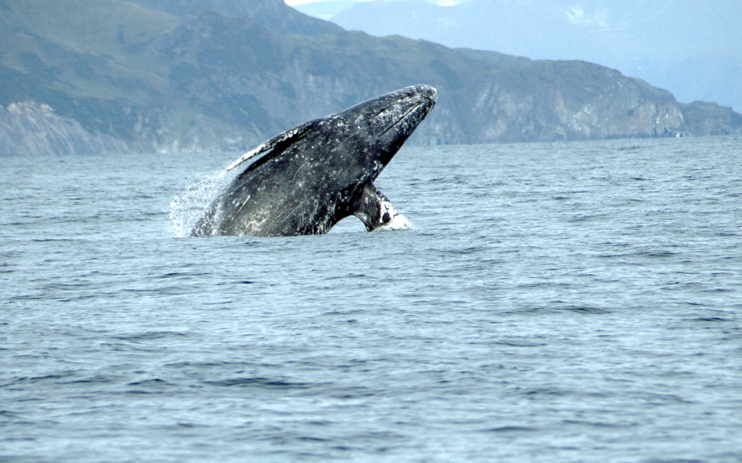 Spring whale watching week in Newport, Oregon