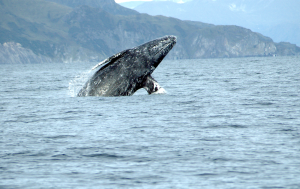 Gray Whale (Eschrichtius robustus) Photo: Merrill Gosho, NOAA